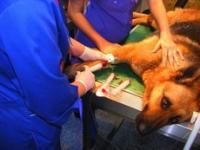 Прямое заменное переливание крови у собаки: неотложная помощь в неотложной ситуации
