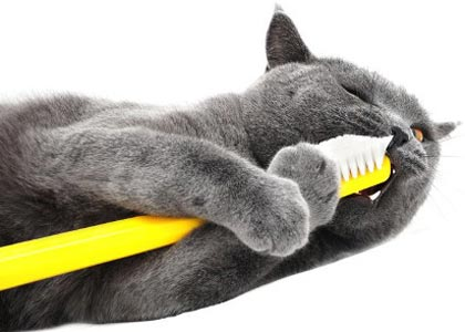 cat.chewing.toothbrush1