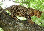 Бенгальские котята от элитных производителей